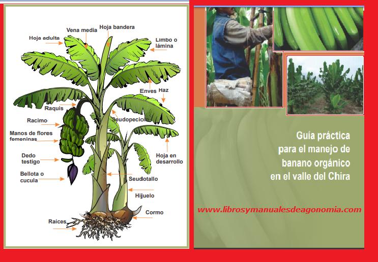 ® MANUAL PARA EL MANEJO ORGÁNICO DEL BANANO gratis