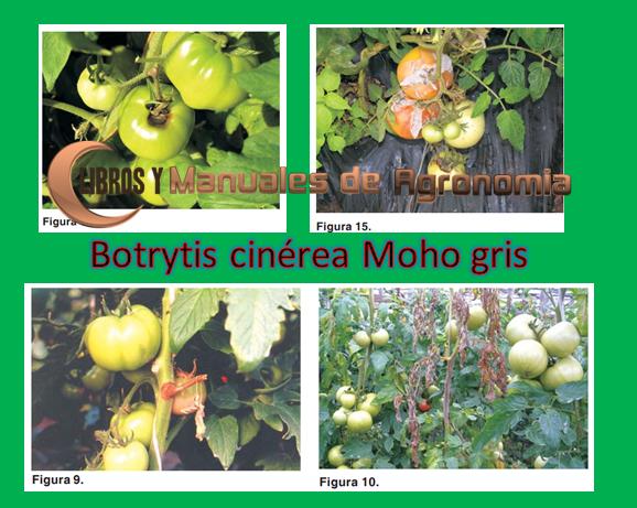 Botrytis cinerea Moho gris