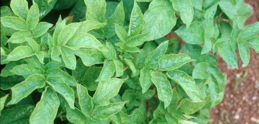 El control del virus Y (PVY) en semilleros de papa es clave para el éxito del cultivo