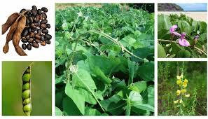 Especies más utilizadas como abonos verdes - InfoAgronomo