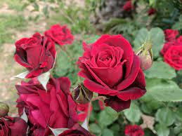 7 tipos de rosas para embellecer tu jardín o patio   Jardineria On